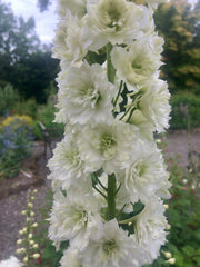 Delphinium 'Highlander Morning Sunrise'