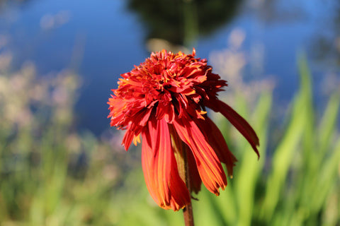 Echinacea 'Hot Papaya' (d)