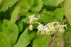 Epimedium 'Flowers of Sulphur'