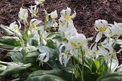 Erythronium californicum 'White Beauty'