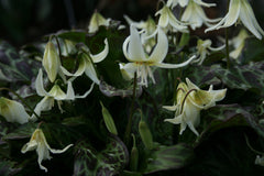 Erythronium 'Sheer Delight'