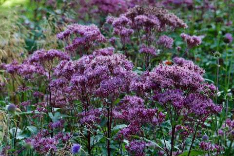 Eupatorium maculatum (Atropurpureum Group) 'Purple Bush'
