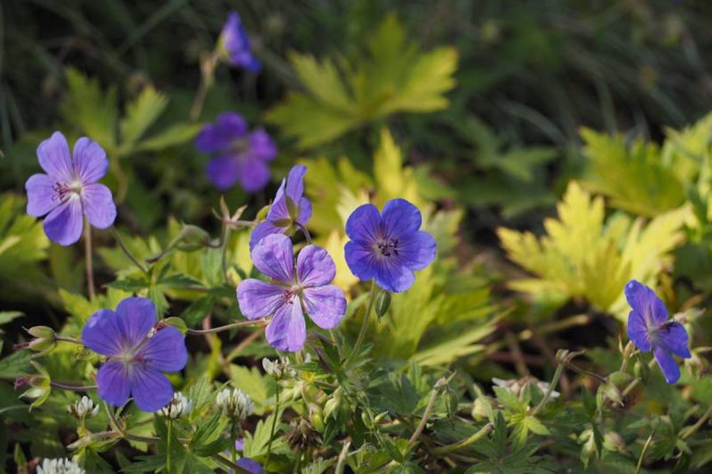 Geranium BLUE SUNRISE 'Blogold'