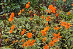 Geum 'Dolly North' (d)