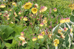Geum 'Farmer John Cross'