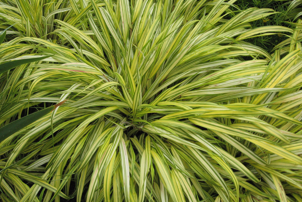 Picture of Live Japanese Forest Grass aka Hakonechloa macra 'Aureola' Plant Fit 1 Gallon Pot