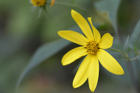 Helianthus decapetalus