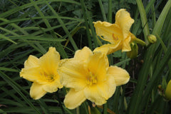 Hemerocallis 'Happy Returns'