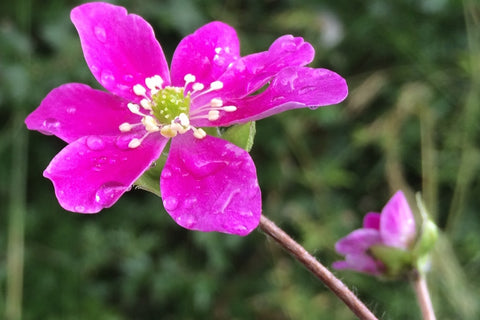 Hepatica 'Forest Red' (Forest Series)