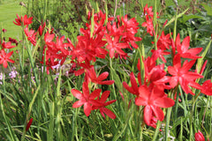 Hesperantha coccinea 'Red Dragon'