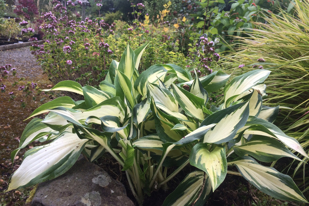 Hosta Christmas Candy Ballyrobert Gardens
