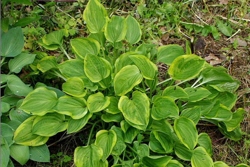 Hosta 'Golden Tiara' (v)