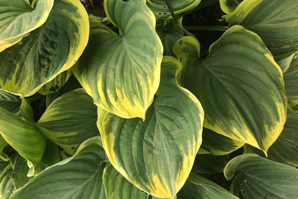 Hosta 'Magic Fire' (v)