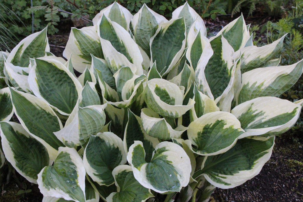 Shade Loving Ground Cover Plants