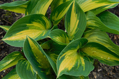 Hosta 'Remember Me'