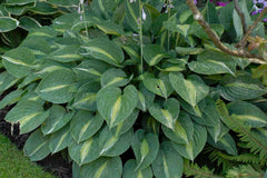 Hosta 'Striptease' (fortunei) (v)