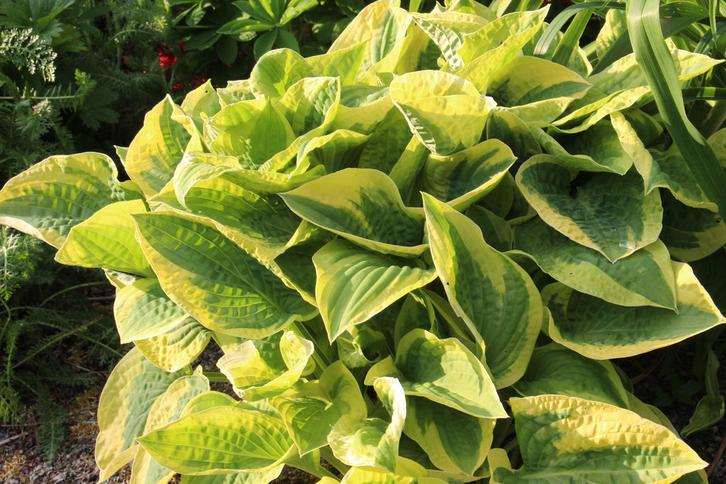 Hosta 'Wide Brim' (v)