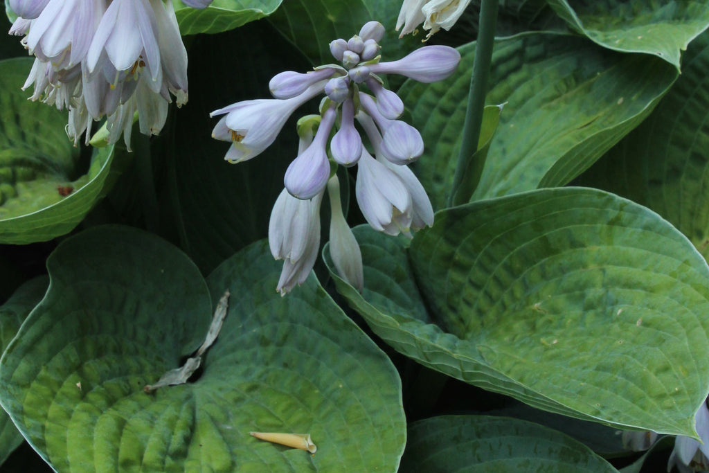 Hosta 'Big Daddy' (sieboldiana hybrid)