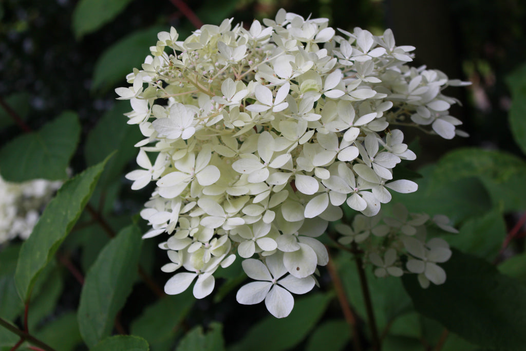 hydrangea paniculata phantom ballyrobert gardens. Black Bedroom Furniture Sets. Home Design Ideas