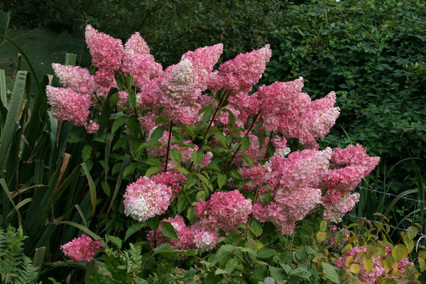 hydrangea paniculata vanille fraise renhy ballyrobert. Black Bedroom Furniture Sets. Home Design Ideas