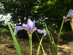 Iris 'Cambridge' (Sib)