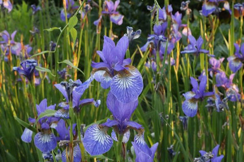 Iris 'Flight of Butterflies' (Sib)