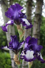 Iris 'Stepping Out' (TB)