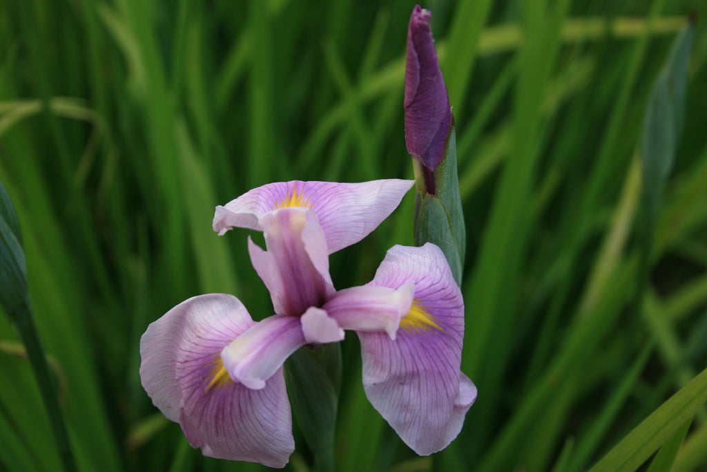 Iris ensata 'Rose Queen'