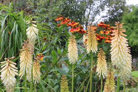 Kniphofia 'Toffee Nosed'