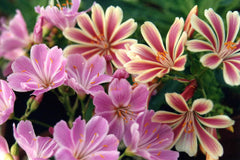 Lewisia cotyledon Sunset Group