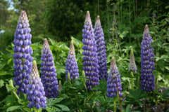 Lupinus 'Persian Slipper'