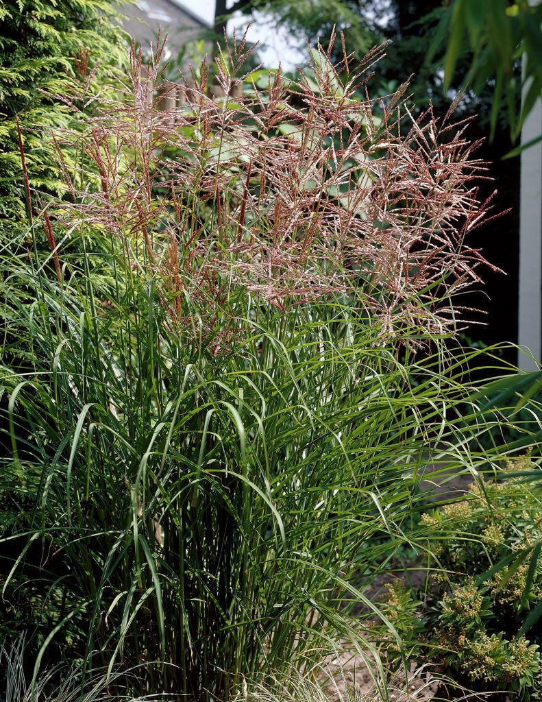 miscanthus sinensis 39 nippon 39 ballyrobert gardens. Black Bedroom Furniture Sets. Home Design Ideas