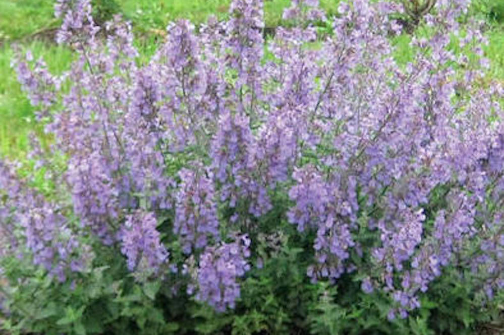 Nepeta JUNIOR WALKER 'Novanepjun'