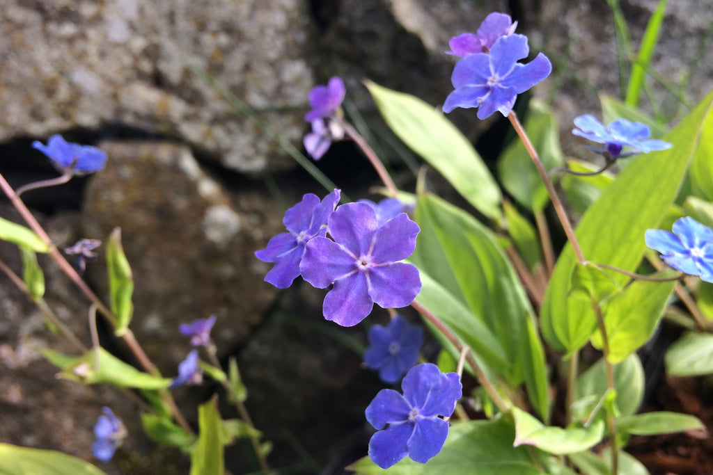 Omphalodes cappadocica 'Cherry Ingram'