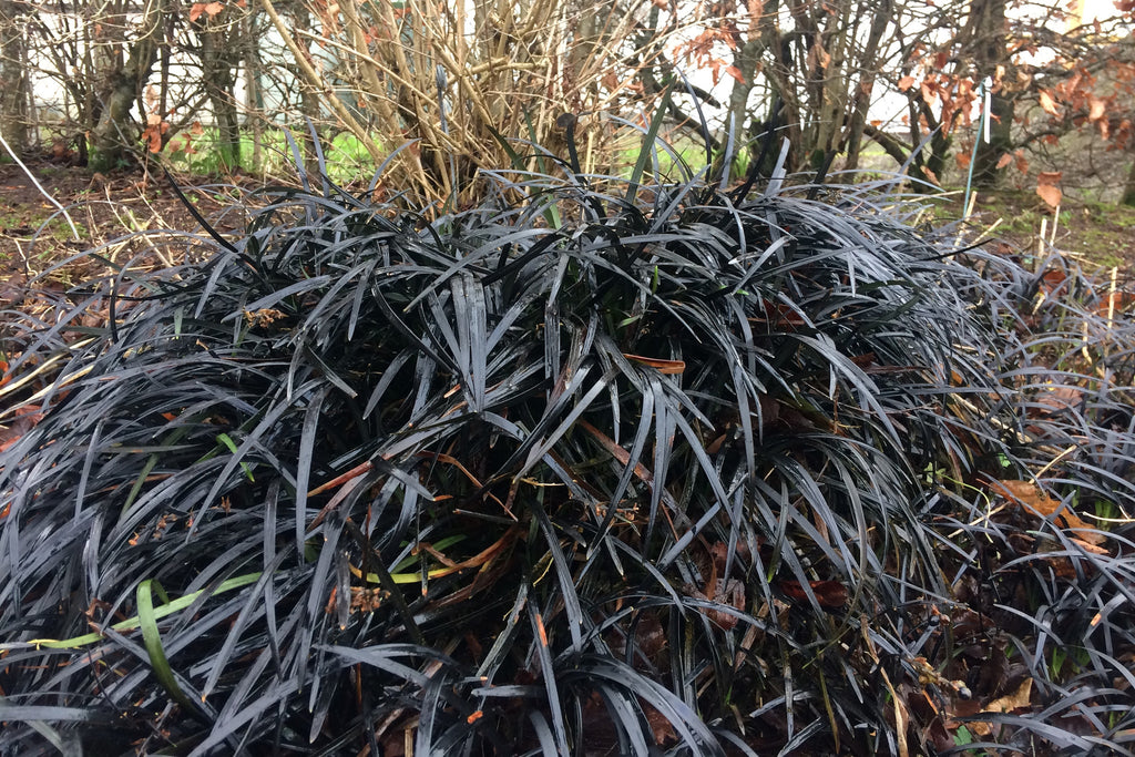 ophiopogon planiscapus 39 nigrescens 39 ballyrobert gardens. Black Bedroom Furniture Sets. Home Design Ideas