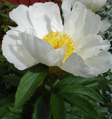 Paeonia lactiflora 'White Wings'