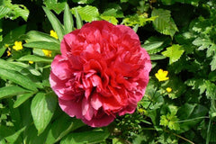Paeonia officinalis 'Rubra Plena' (d)