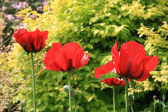 Papaver orientale (Goliath Group) 'Beauty of Livermere'