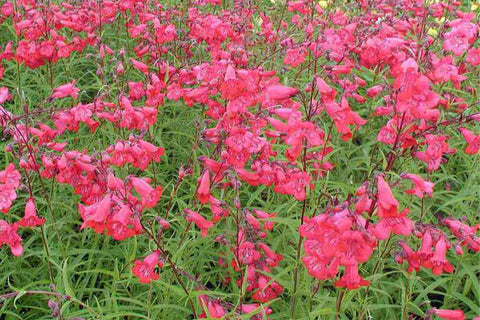 Penstemon 'King George V'