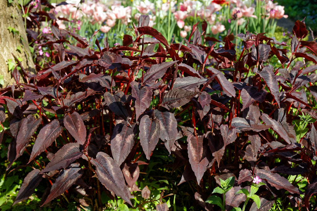 Persicaria microcephala 'Red Dragon'