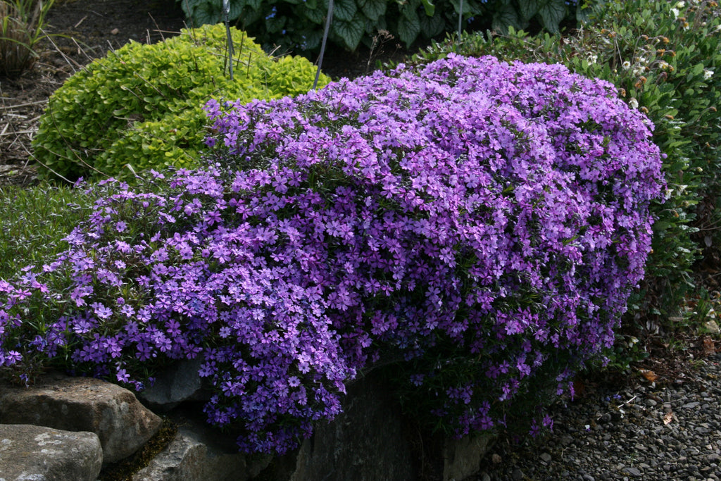 Phlox Subulata Purple Beauty Ballyrobert Gardens