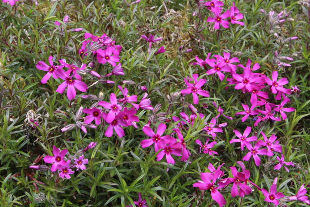 Picture of Live Creeping Phlox aka Phlox subulata Pink Plant Fit 1GAL Pot