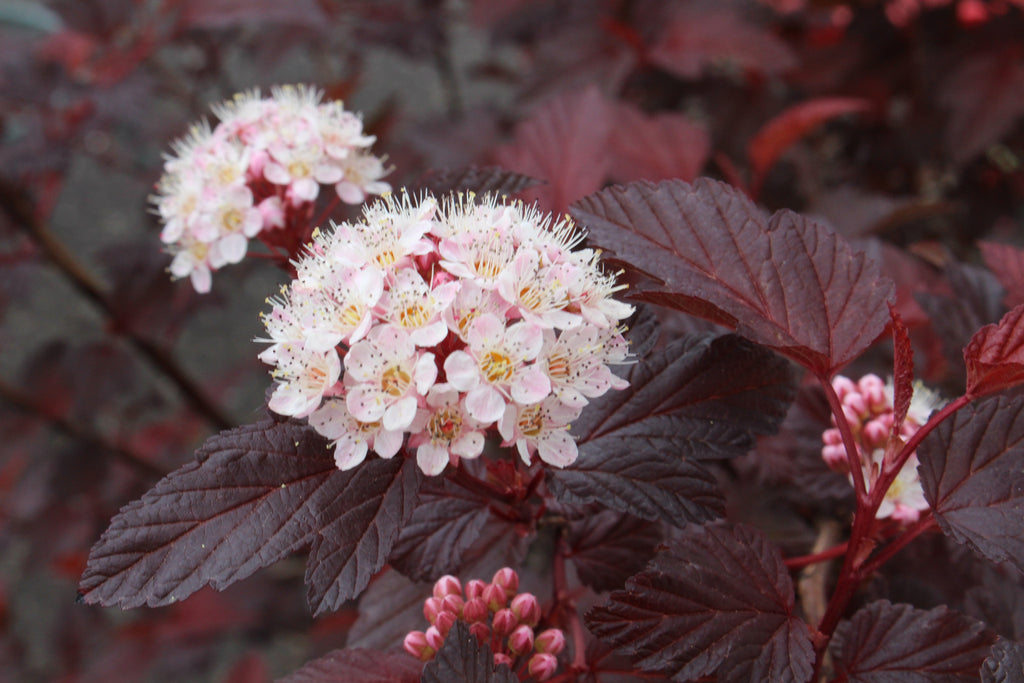 physocarpus opulifolius diable d or 39 mindia 39 ballyrobert. Black Bedroom Furniture Sets. Home Design Ideas