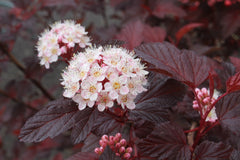 Physocarpus opulifolius DIABLE D'OR 'Mindia'
