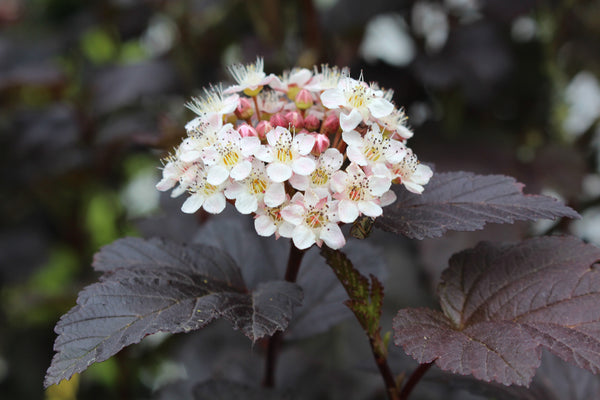 physocarpus opulifolius 39 diabolo 39 ballyrobert gardens. Black Bedroom Furniture Sets. Home Design Ideas