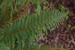 Polystichum setiferum (Divisilobum Group) 'Herrenhausen'