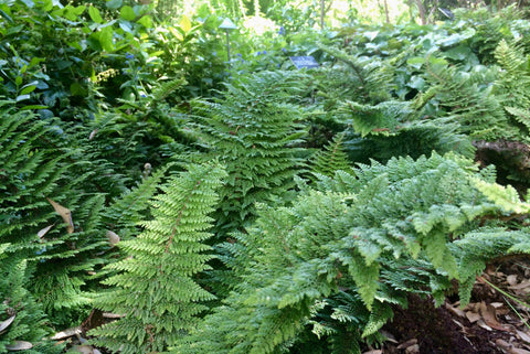 Polystichum setiferum Plumosum Group