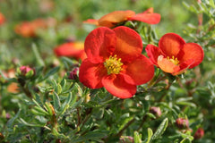 Potentilla fruticosa [Marian Red Robin] = 'Marrob'