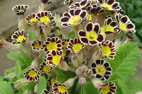 Primula Gold-laced Group (Pr-poly)