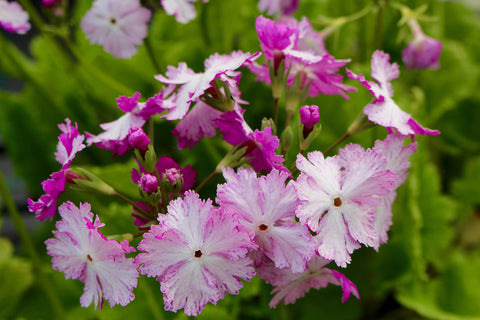 Primula sieboldii 'Dancing Ladies' (Co)